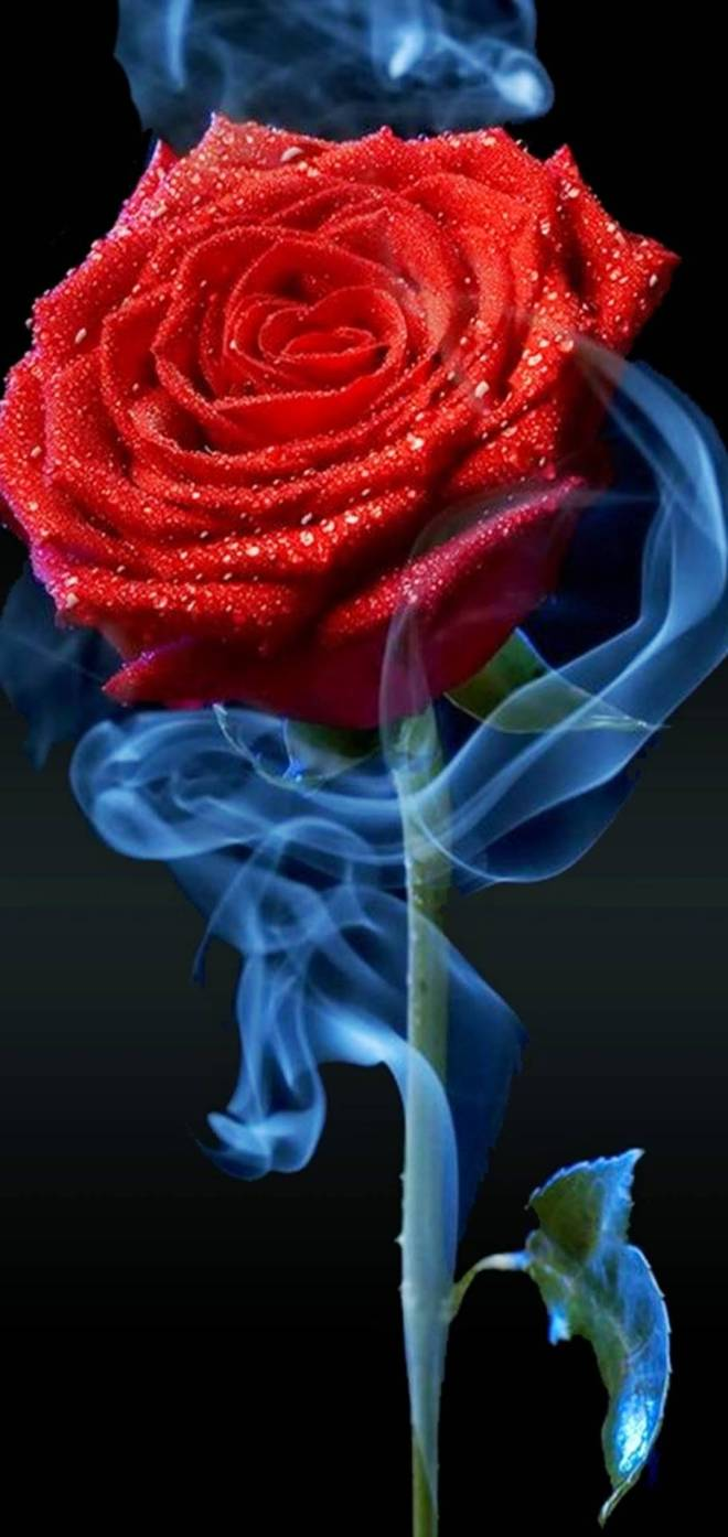 Red_rose-6a7a073b-e289-349f-adcf-f5055d1222d7